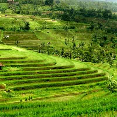 jatiluwih-bali-magnifiques-rizières-en-terrasse