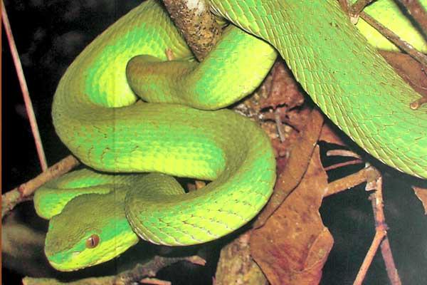 ular-komodo