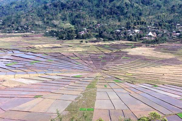 le-riz-se-cultive-en-toile-d-araignee-flores